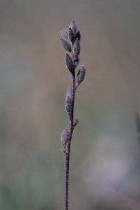 Draba yukonensis  (Photo by Gerry Mussgnug)